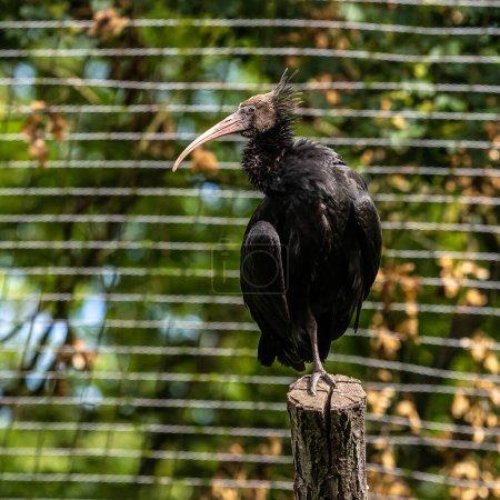 Photo pour L'ibis chauve du Nord, l'ibis ermite, ou le treillis de waldrapp.Geronticus eremita est un oiseau migrateur que l'on trouve dans des habitats stériles, semi-désertiques ou rocheux, souvent près de l'eau courante.. - image libre de droit