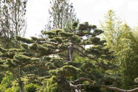 Photo pour Le pin noir du Japon Pinus thunbergii est un conifère du genre Pinus avec des pins poussant par paires, aiguilles longues de 7 à 12 pouces - image libre de droit