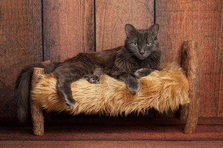 Photo pour Un chat Nebelung gris couché sur un petit lit rustique, en bois. Le Nebelung est une race rare, semblable à un bleu russe, sauf avec mi-longs, cheveux soyeux. Tourné en studio sur fond de bois patiné. - image libre de droit