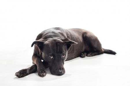 """Photo for A back lit portrait of a black, mixed-breed, female dog lying down with a bored look on her face. Isolated on a white seamless background. According to DNA testing, """"Sophie"""" is primarily a mix of Australian Shepherd, Beauceron and English Toy Spaniel - Royalty Free Image"""