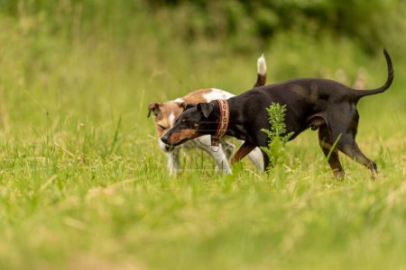 zwei schöne Tierfreunde auf einer grünen, schönen Wiese im Frühling. Paron Russell Terrier Hund und Manchester Terrier Hund in großer Harmonie von grünem Hintergrund