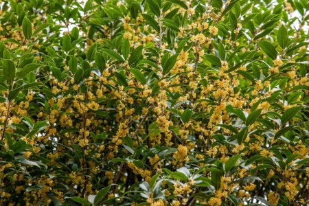 Kunming Expo fragrance of osmanthus