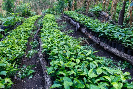 Photo for Coffee plantation, seedlings, trees from north of nicaragua - Royalty Free Image