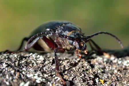 Black beetle woodcutter-tanner crawling on tree bark