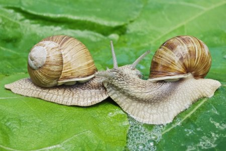 Mating game snails on the background of green leaves