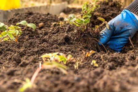 Planting strawberries in soil hands