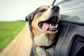 Happy Dog with Eyes Closed and Tounge Out Riding in Car