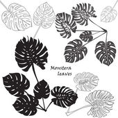 Silhouette tropical monstera leaves Black isolated on white background