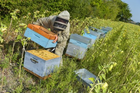 Photo for Bee Keeper Working with Bee Hives in a sunflower field - Royalty Free Image