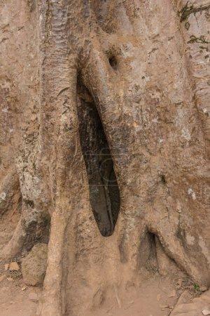 Photo pour Gros plan de l'arbre comme un génital féminin ou la chatte. - image libre de droit