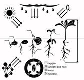Infographics stages of plant growth growing plants from corn