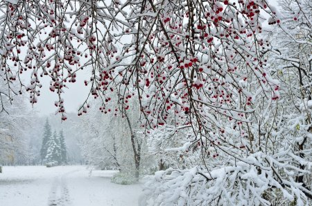 A snow-covered branch of wild apple tree with red ...