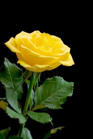Beautiful yellow rose on black background...