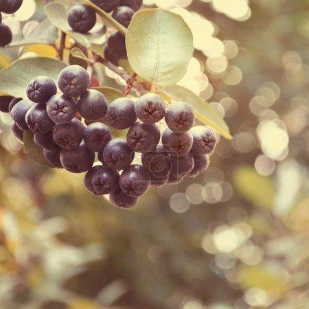black Chokeberry aronia