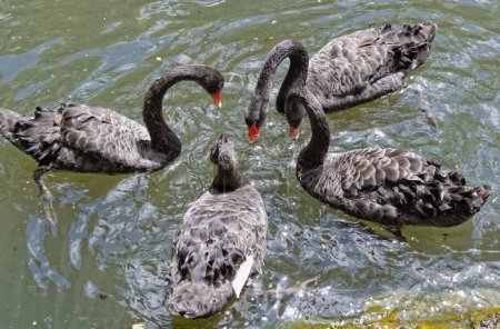 The black Swans in the lake in botanical garden of Furnas Sao Miguel
