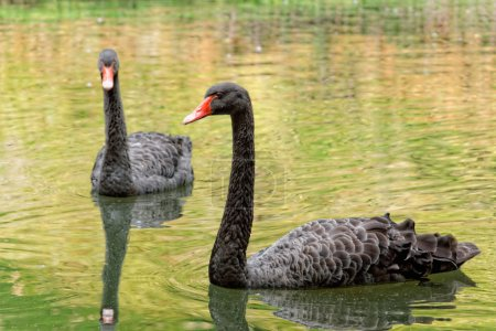 The black Swans in the lake in botanical garden of Furnas Sao Mi