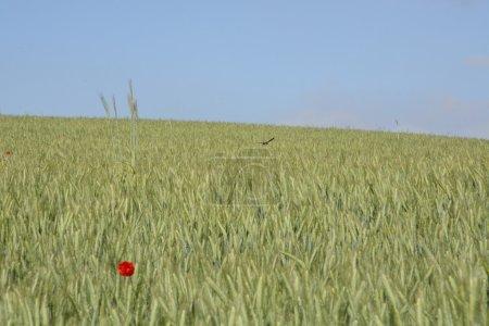 ländliche Landschaft - roter Mohn