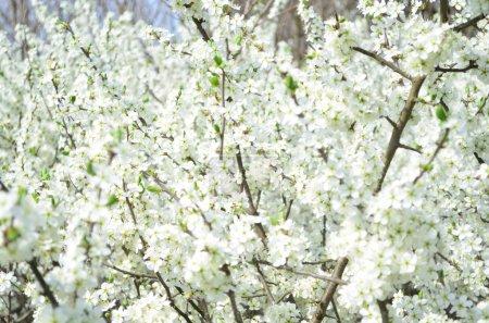 Photo pour Arbre en fleurs printemps blanc - image libre de droit