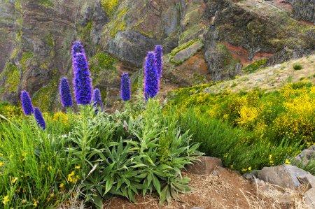 Photo pour La plante Fierté de Madère - Echium Fastuosum, Pico do Arieiro, Portugal, Europe - image libre de droit