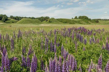 lupines in field