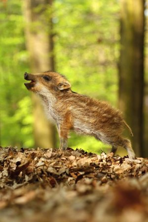 Striped baby wild boar in spring forest...