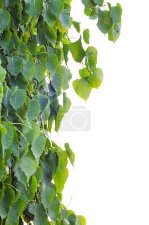 Photo for Sacred Fig Tree leaves against white background, Pipal Tree, Bohhi Tree, Bo Tree, Peepul, Ficus religiosa - Royalty Free Image