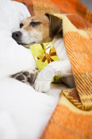 Photo pour Animaux de compagnie confortable endormi sous une couverture sur l'oreiller. En prévision des vacances. Ne pas ouvrir avant Noël - image libre de droit
