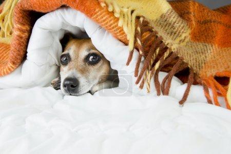 Foto de Lindo perro mira hacia fuera por debajo de la manta suave. - Imagen libre de derechos