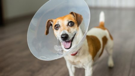 Dog Jack Russell terrier  with vet Elizabethan collar