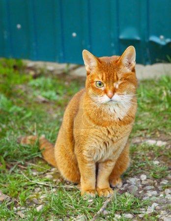 Photo pour Portrait en plein air chat borgne aux cheveux rouges - image libre de droit