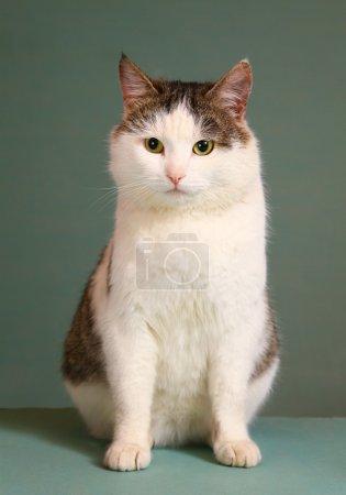 siberian breed tom arrogant cat on the table