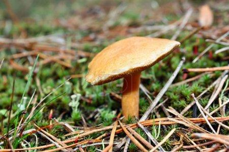 Mushrooms suillus bovinus