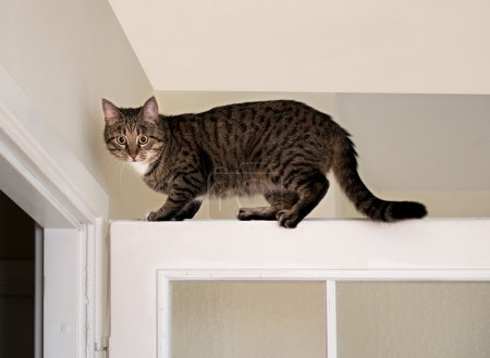 Cat, resting cat on the top of door in blur light background, cute funny cat close up, small sleepy lazy cat, domestic cat, relaxing cat, cat resting, lazy cat on day time, selective focus to the face