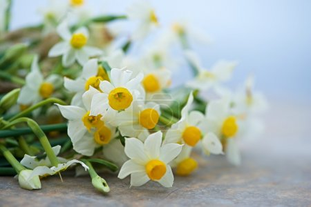 Nice white daffodil in bright blurry background in early spring, maltese daffodil, narcis, blossom daffodils on a natural background