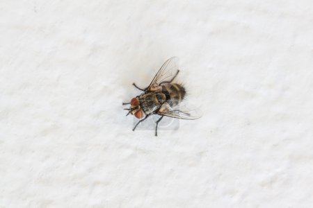 Blow fly, carrion fly on wall
