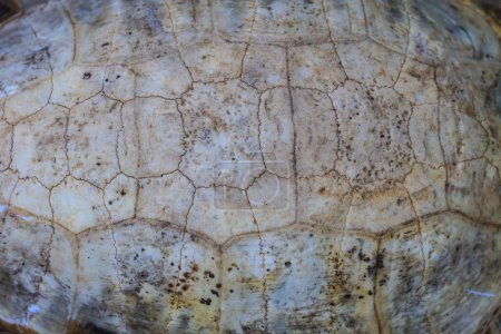 Texture of Turtle carapace