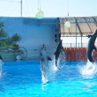Four dolphins circling in the ball pool...