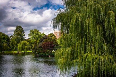 Weeping willow trees and a