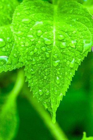 Water droplets on the leaf