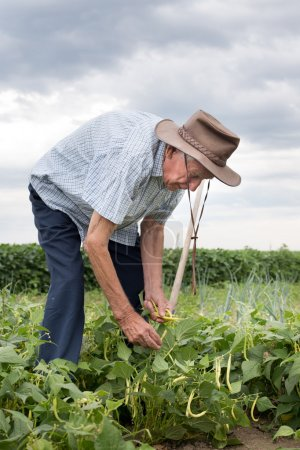 Peasant working in yellow bean field