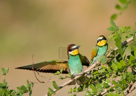 Bee-eater couple