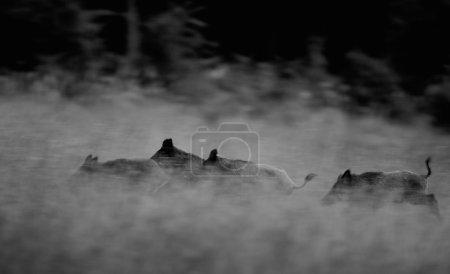 Wild boars running away