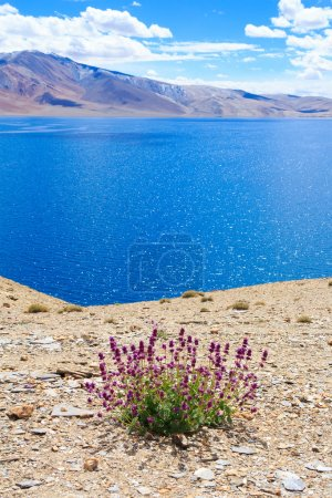 Tso Moriri. Purple flowers on the shore of mountain lake.