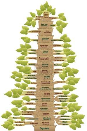 Human Evolution Tree Of Life Phylogenetic