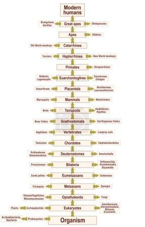 Tree Of Life Human Evolution Phylogenetic