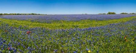 Photo pour Une vue panoramique haute résolution de Grand Angle d'un beau champ de Texas fleurs sauvages, surtout les Bluebonnets de Texas. - image libre de droit