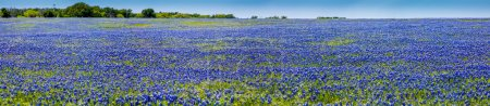 A Wide Angle High Resolution Panoramic View of Texas Wildflowers.