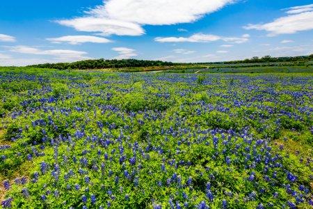 Foto de Una amplia vista de ángulo de un hermoso campo o Prado cubierto con las flores silvestres de la famosa Texas Bluebonnet (texensis del Lupinus). Una impresionante exhibición en Muleshoe Bend en Texas. - Imagen libre de derechos