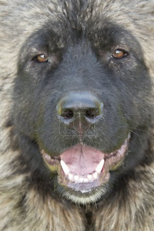 Muzzle of Caucasian Sheepdog.