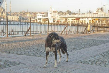 Stray dog near Galata Bridge in Istanbul, Turkey.